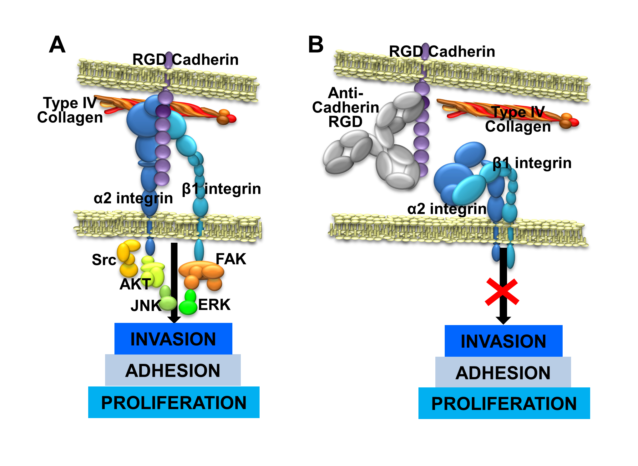 Action mechanism of therapeutic antibodies against RGD cadherin