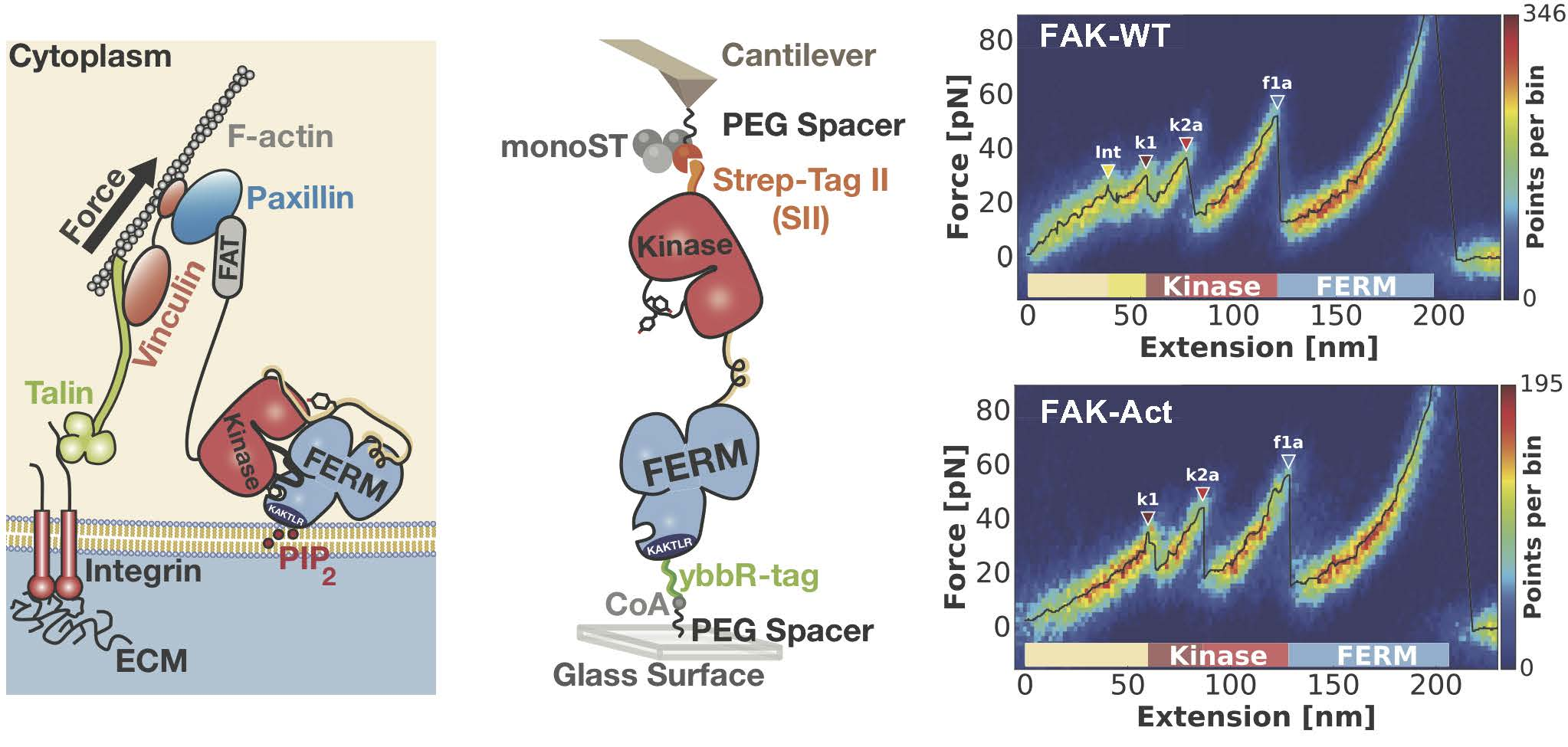 New discoveries about the mechanism of force sensing during cell migration