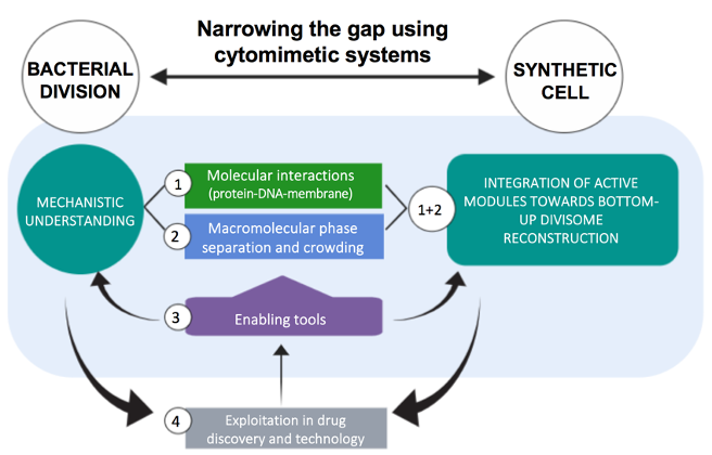 BASYC - Bacterial division in synthetic cytomimetic environments