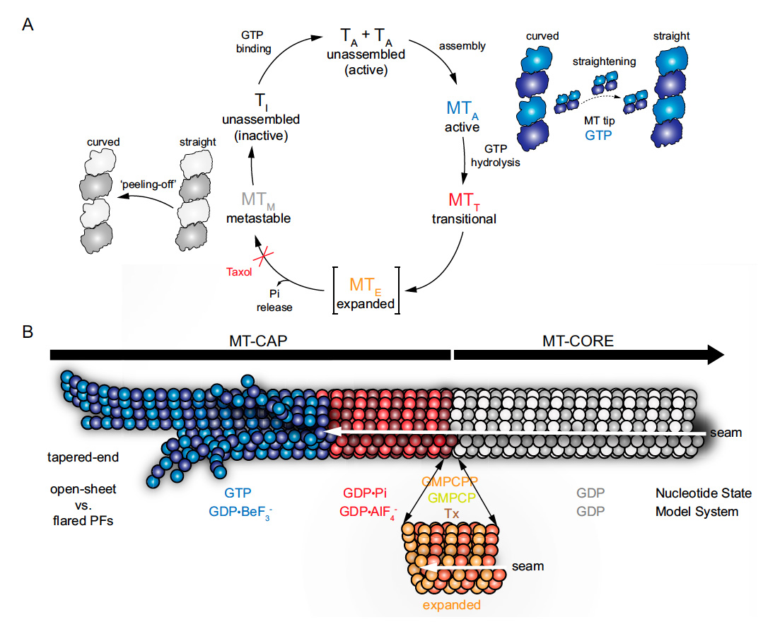 Microtubule regulation